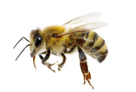 monsanto d 233 voile une abeille transg 233 nique r 233 sistante aux