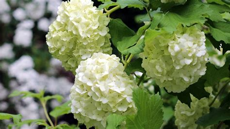 wallpaper flower hydrangea hydrangea wallpaper 20145