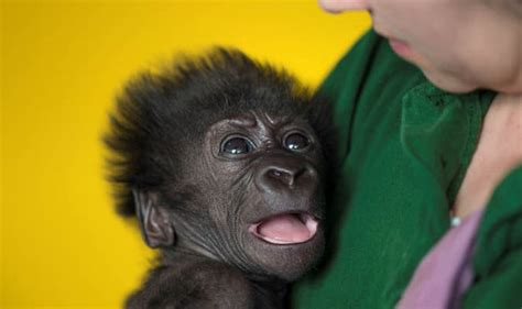 Nature S Miracle Babies Bristol Zoo Caesarian Baby Gorilla Smiles In But Recovering Slowly Nature
