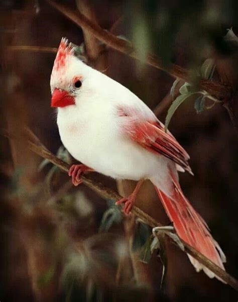 white cardinal or desert cardinal found in the american