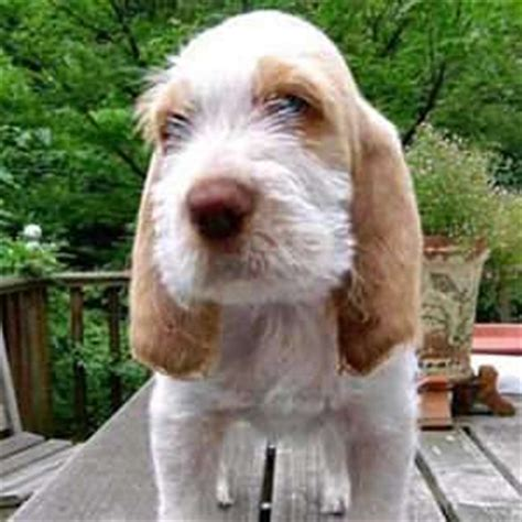 spinone italiano puppies for sale spinone italiano puppies for sale pets4you