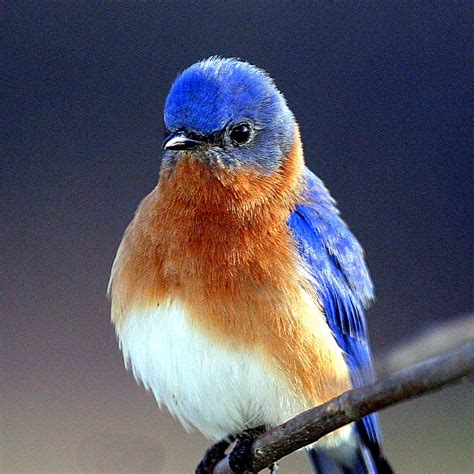 animals zoo park bluebirds photos blue bird pictures gallery