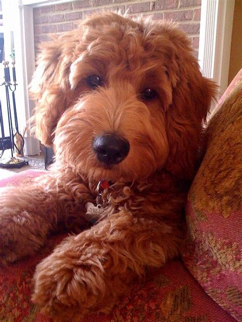 goldendoodle puppy behavior problems 1000 images about golden doodle on