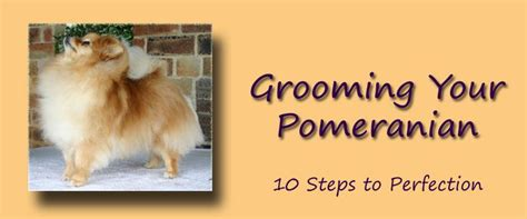 pomeranian shedding tips 1000 images about pomeranian on pomeranians pomeranian dogs and