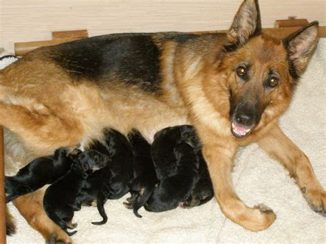 newborn german shepherd puppies stop biting baby german shepherd puppies breeds puppies