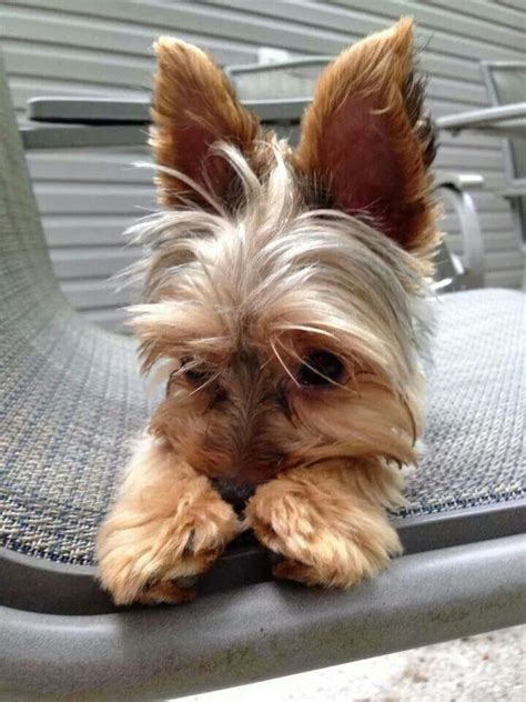 best shoo for yorshireterrierpuppies 1318 best images about yorkie love on pinterest