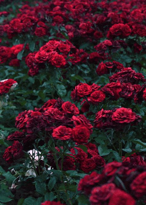 wallpaper tumblr red rose red roses gif tumblr