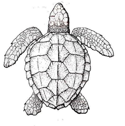 hard turtle coloring pages sea turtle anatomy coloring page natuee pinterest