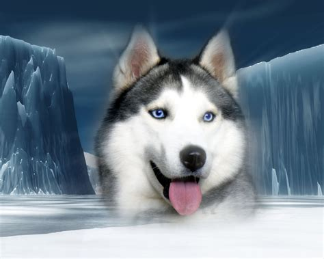 pictures of husky dogs siberian husky dogs wallpaper 32502218 fanpop