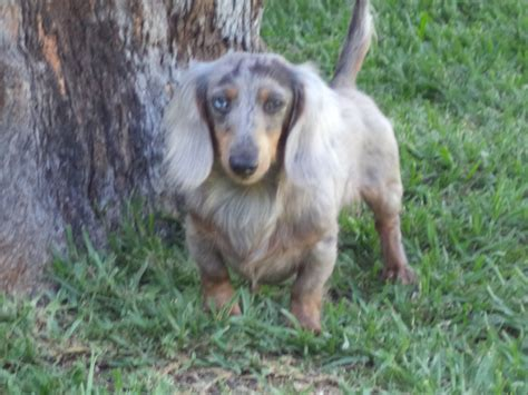 miniature dachshund puppies jacksonville fl dachshunds n doxies quality akc mini dachshunds