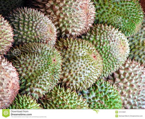 prickly spiny fruit tree durian stock image image 31513361