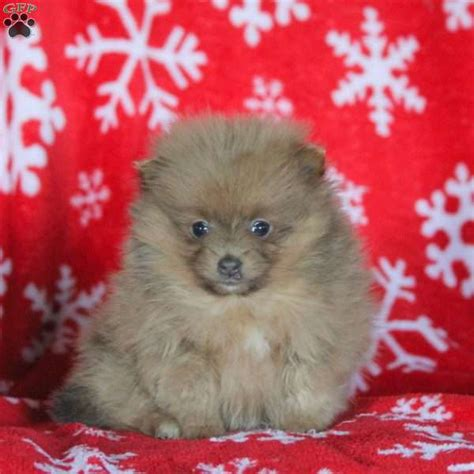 pomeranians for sale in pennsylvania twinkle pomeranian puppy for sale in pennsylvania