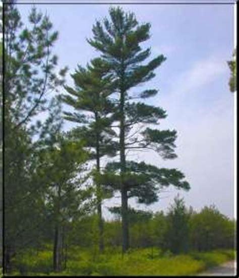 michigan tree michigan state tree white pine michigan