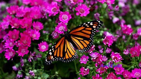 Imagenes Mariposas Naturaleza | m 250 sica relax piano im 225 genes naturaleza mariposas youtube