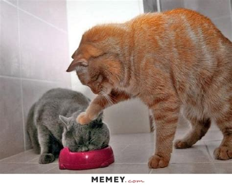 find grey cats memes memey com