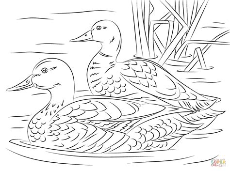 mallard coloring pencil coloring pages