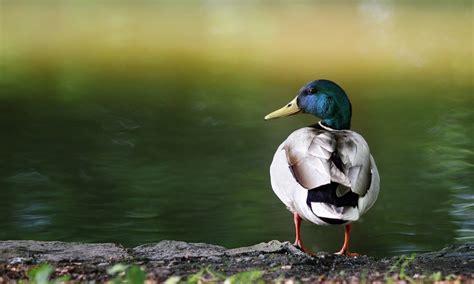 duck backgrounds mallard duck hd wallpapers high definition free