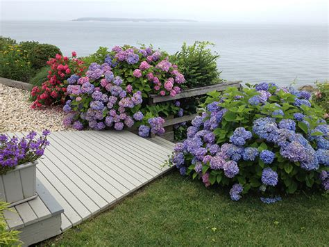 Ny Landscape Lighting - hamptons hydrangeas beach style landscape new york by petrowgardens landscape design