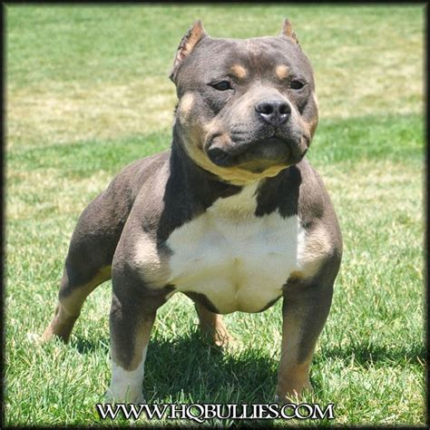 tri color pitbull puppies for sale what a cutie hq bullies eternal doom tri color pitbull bully pets