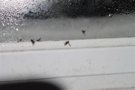 petites mouches marrons en appart