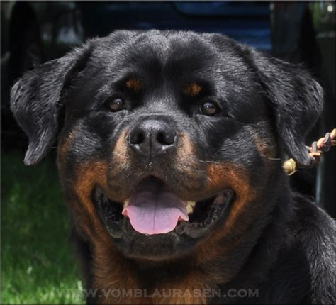 rottweiler heat cycle rottweiler heat cycle breeds picture