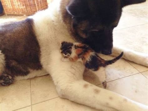 dog suddenly wants to be alone akita guard dog lily adopts tiny abandoned kitten in