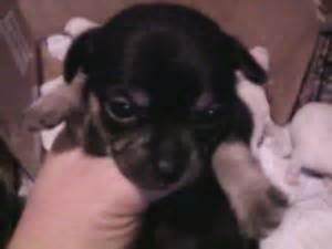 puppies for sale st joseph mo puppies in missouri