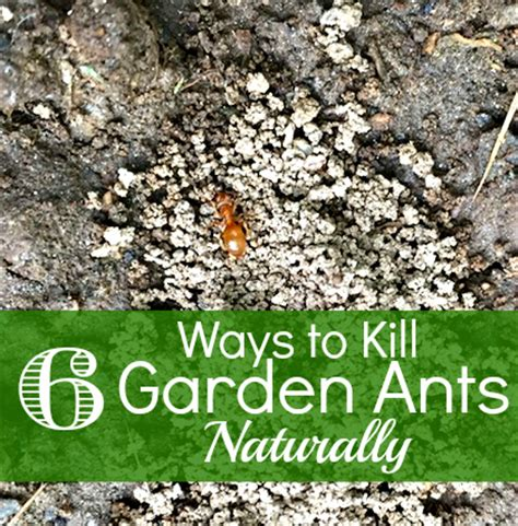 how to kill ants in garden
