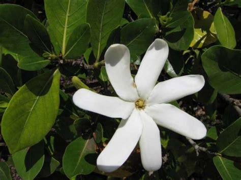 Gardenia Taitensis Gardenia Taitensis Dc Tahitian Gardenia