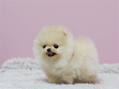 pomeranian for sale in los angeles pomeranian puppies for sale los angeles ca 190232
