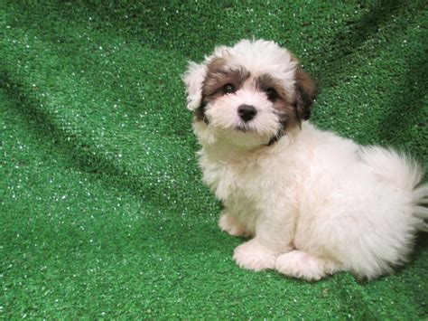 bichon and shih tzu mix bichon frise and shih tzu mix puppies 12 desktop background dogbreedswallpapers
