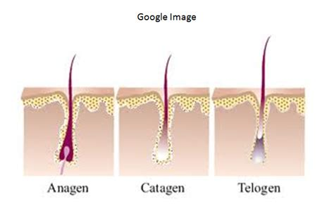 Hair Shedding Cycle by Hair Cycle Shedding