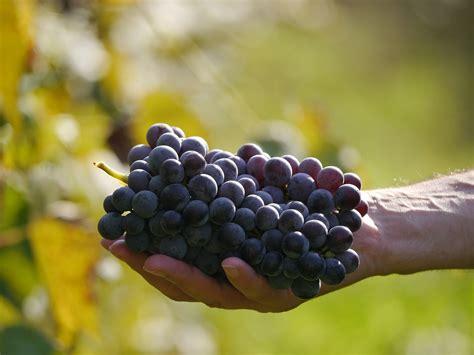 best grape seed grape seed extract vs resveratrol