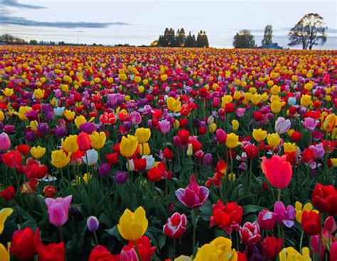 tulip field tulip field mix wooden shoe tulip farm