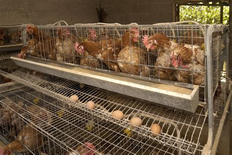 allevamento galline in gabbia sense of egg labels eat run us news