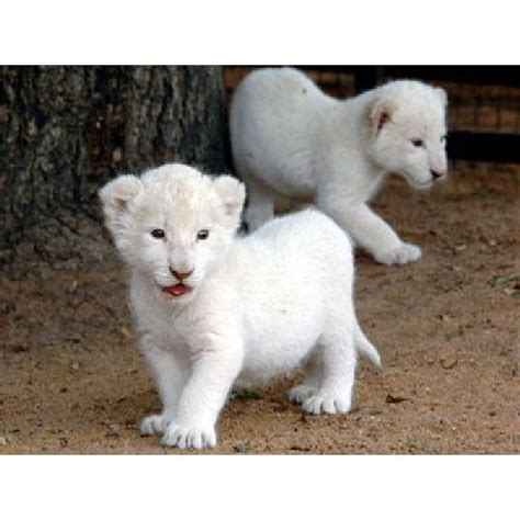 white tigers and white panthers   white tigers and white