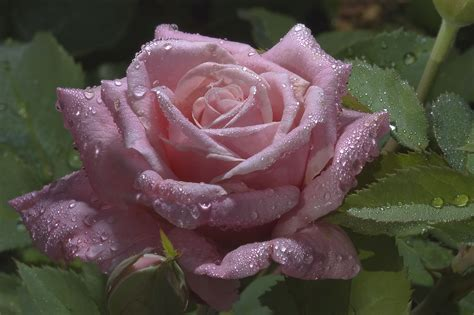 water drops on pink wild rose iowa pictures iowa photo 752 07 pink rose with drops of water in tamu m