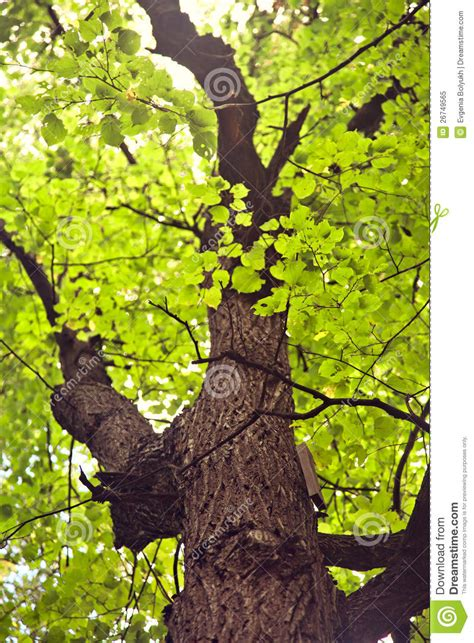 Old Linden Tree Royalty Free Stock Photo - Image: 26749565 Free Vector Food Clipart