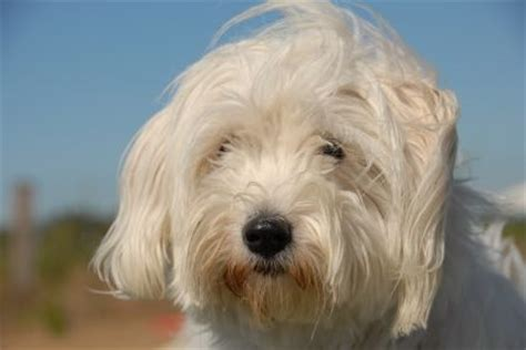 havanese breed temperament havanese temperament and personality those precious havanese