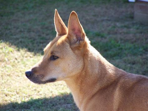 dingo dogs carolina breed nicknamed the american dingo