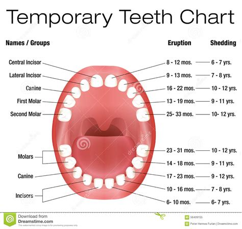 Shedding Of Teeth temporary teeth primary baby eruption shedding chart stock