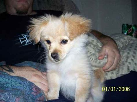 pekingese shih tzu pomeranian mix sheltie pomeranian mix shih tzu for sale breeds picture