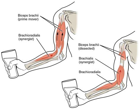 diagram of muscles and tendons arm muscles diagrams diagram site