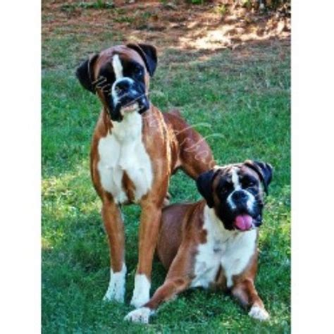 boxer puppies for sale in maine northwoods boxers boxer breeder in fairfield maine listing id 16995