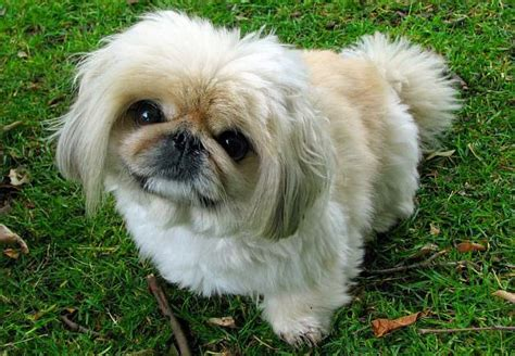 shih tzu breathing problems symptoms the 6 most common inherited diseases in dogs iheartdogs