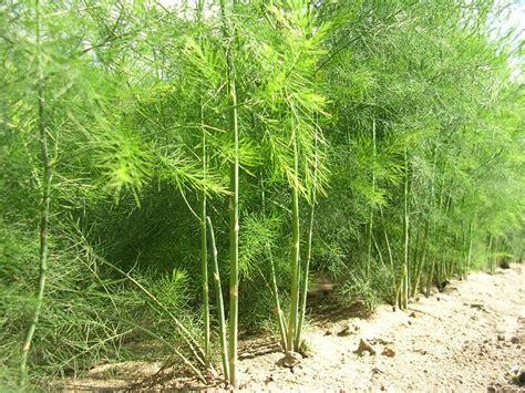 Spargel Pflanzen Kaufen 917 spargel pflanzen kaufen spargelpflanzen kaufen