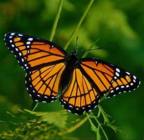 imagenes de mariposas de verdad image gallery imagenes de una mariposa