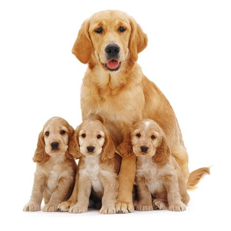 are golden retrievers family dogs 45 most beautiful golden retriever photos golfian