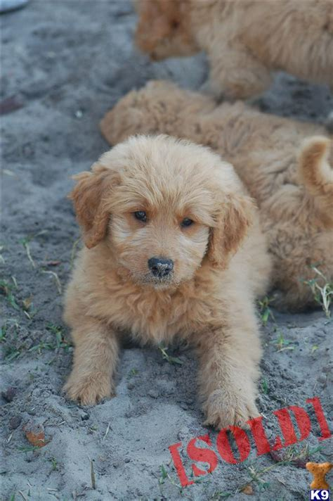 goldendoodle puppies florida mini goldendoodles for sale in fl breeds picture