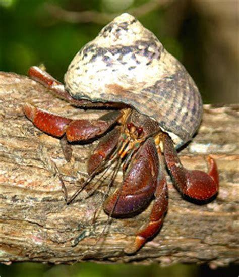 hermit crab heat l adventures in hermit crab keeping hermit crabs what it